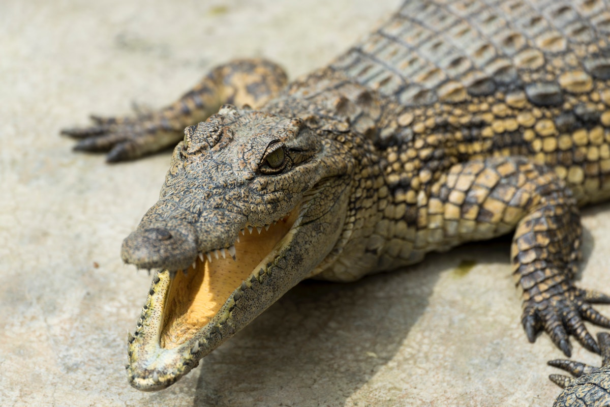 Understanding the differences between a crocodile and an alligator