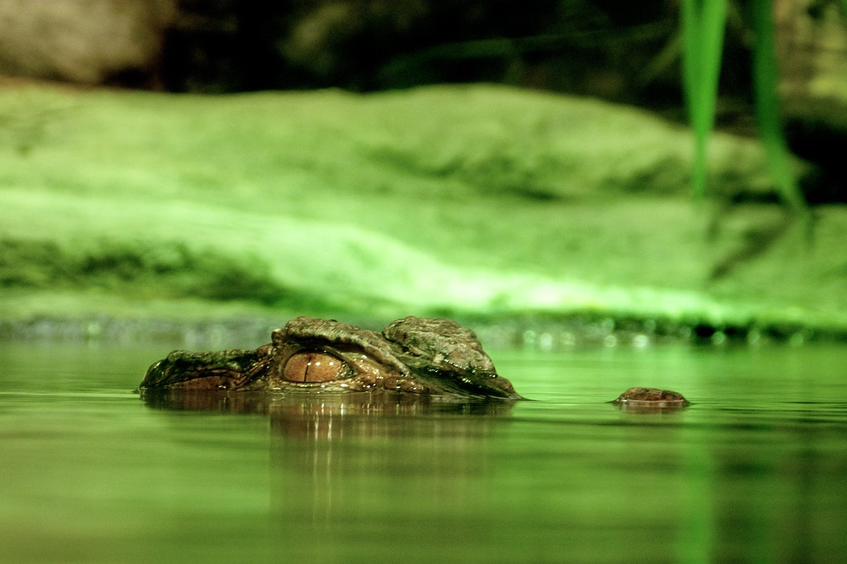 Top 5 Most Surprising Facts About Alligators for Your Airboat Tour in Orlando