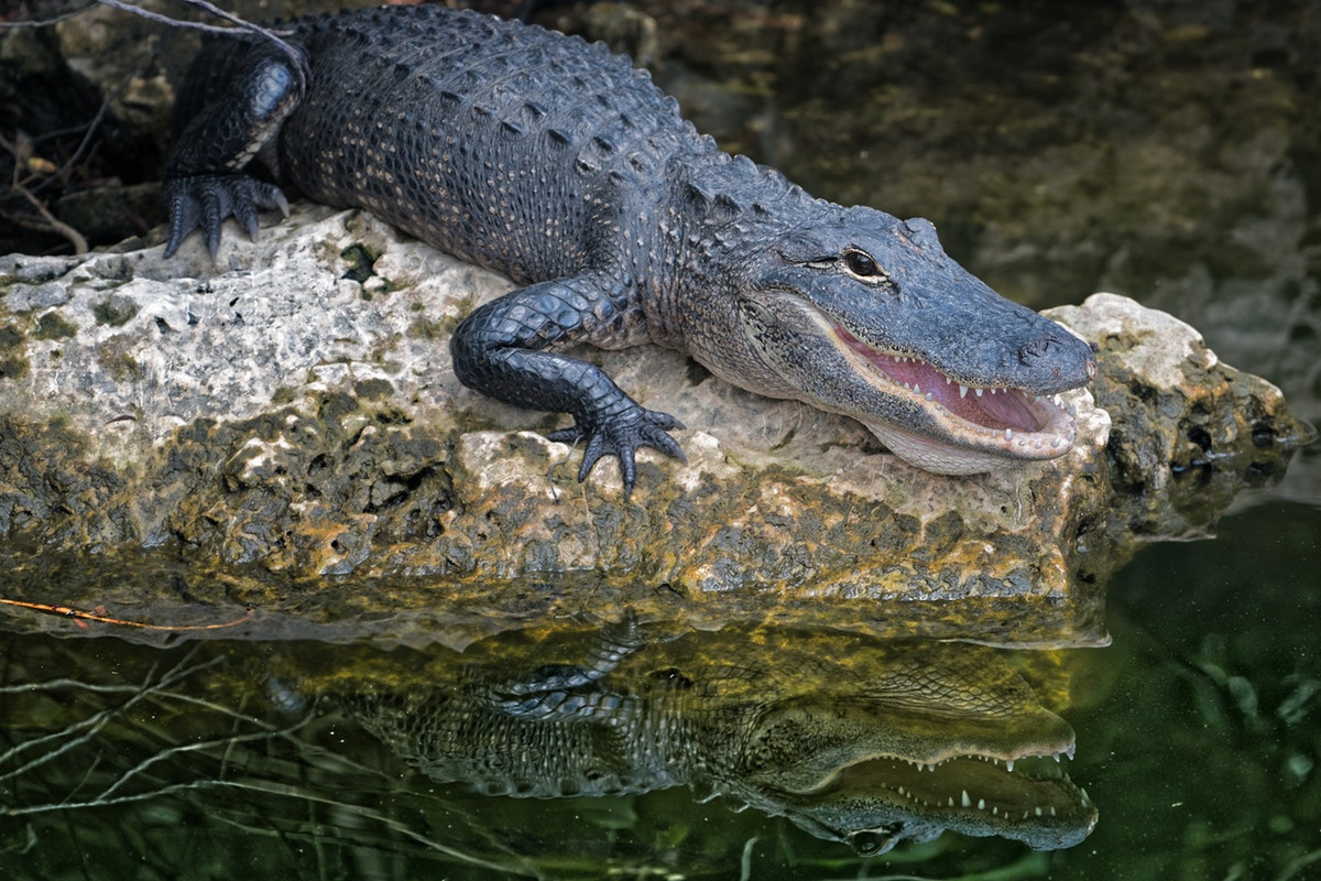 Alligator Laws That You Should Know About