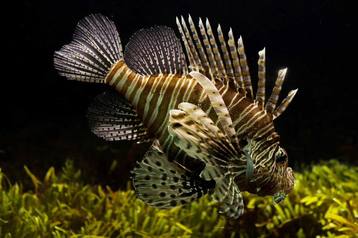 The Dangers of the Lionfish in Florida Waters