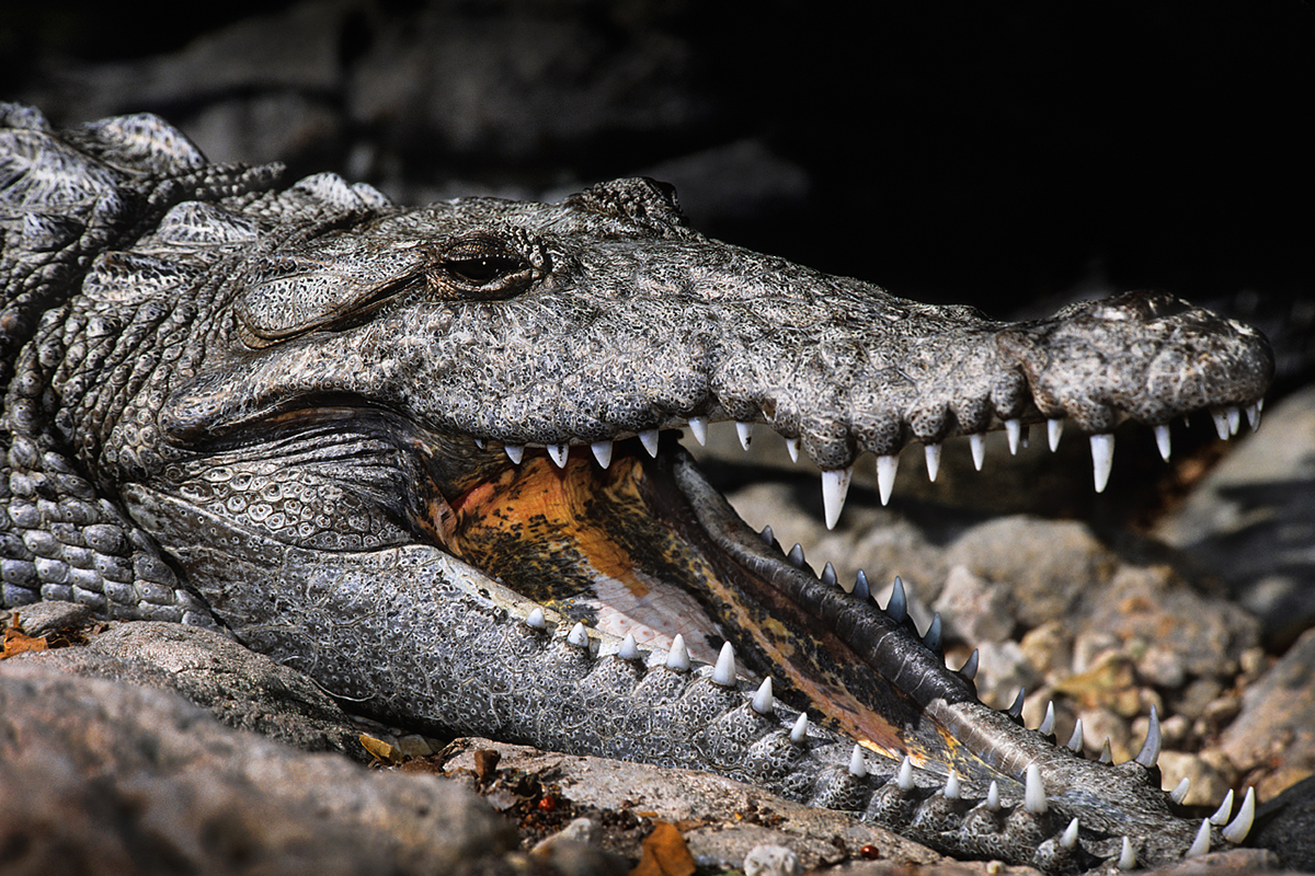 Common Questions about the American Crocodile