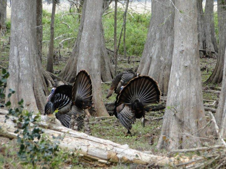 Switchgrass Outfitters Osceola Turkey Hunts